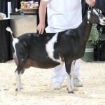GCH M's Sagebrush Mav Sweet Dreams. 8th Place 3yr old at 2012 National Show