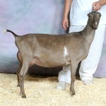 M's Sagebrush Beau Mocha Chip. 8th place 2yr old at 2012 ADGA Nationals