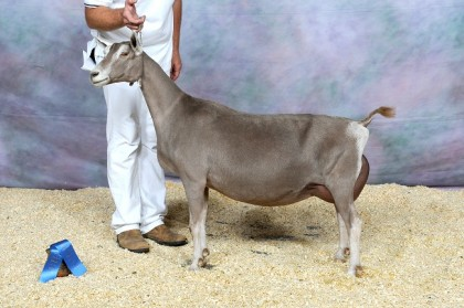 CH Rowe's Redbud Secret Kiss. 1st place 4yr old & BEST TOGG UDDER at 2012 ADGA Nationals